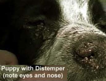 distemper symptoms in puppies animal distemper in dogs vaccination and treatment