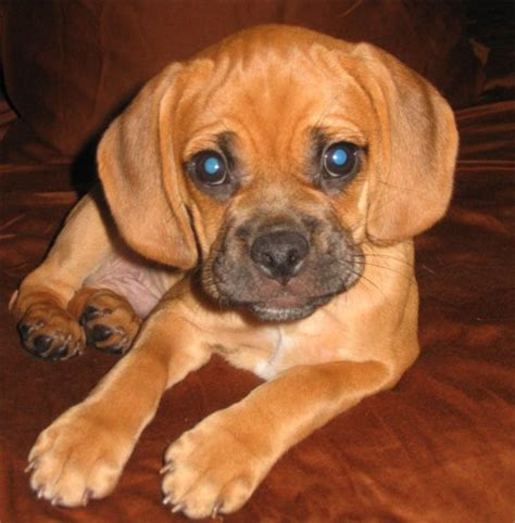 pictures of puggle puppies puggle photos pictures puggles