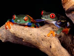 colorful frog frogs hd wallpapers wallpapers pictures images