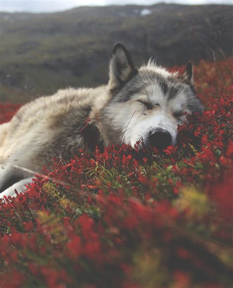 wolf wallpaper pinterest sleeping wolf pictures photos and images for facebook