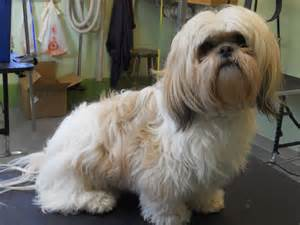 haircuts for shih tzus males male shih tzu haircuts hairstyle gallery