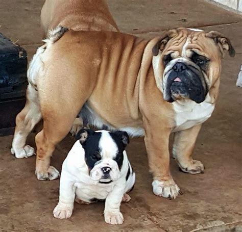 small miniature bulldog puppies for sale miniature bulldogs for sale bulldog breeder