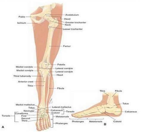 gambar tulang kaki daunbuah