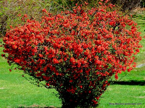 early flowering shrubs flowering shrubs for early in the garden with