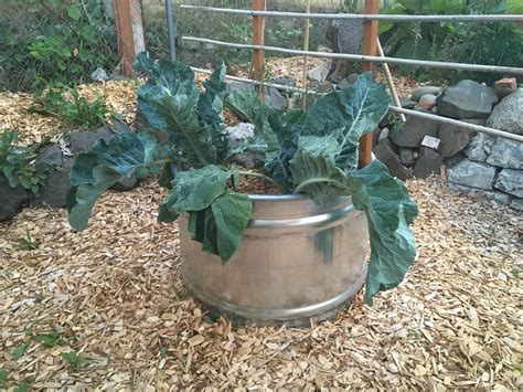 Galvanized Water Trough Planter galvanized water trough planters nifty homestead