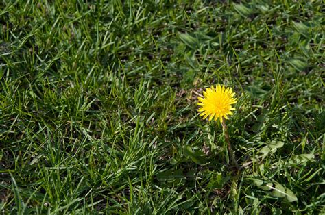 dandelion control how to get rid of dandelions