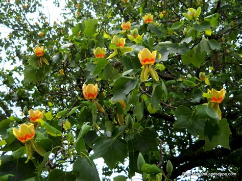 Tree Flower Of by The And Spectacular Tulip Tree In The Garden With