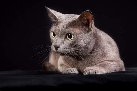 Korat   Cats   Breed Information   Omlet