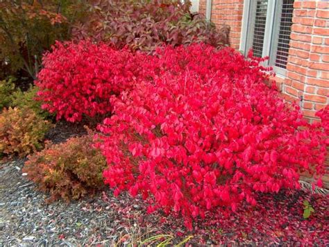 dwarf winged burning bush euonymus alatus compactus zones 4 8 full sun to part shade a