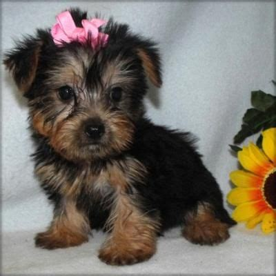 teacup yorkie puppies for sale in houston yorkie puppies for adoption in houston