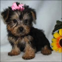 yorkies for sale in houston teacup yorkie puppies for sale in houston yorkie yorkie puppies for adoption in