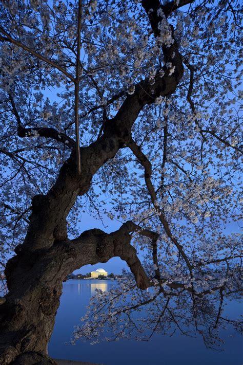 cherry blossom tree facts national cherry blossom festival fun facts hgtv