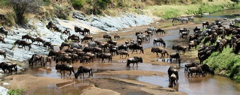 These Constantly Migrate In Search Of Food The Stages Of The Great Migration In Serengeti National Park Exploring Africa