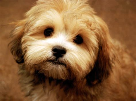 shih tzu soft bichon shih tzu archives soft and fluffy