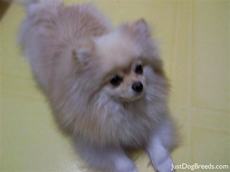 large hypoallergenic breeds hypoallergenic dogs breeds photos quotes