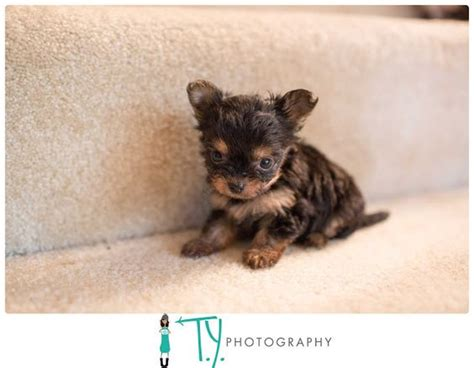 raising yorkie puppies the world s catalog of ideas