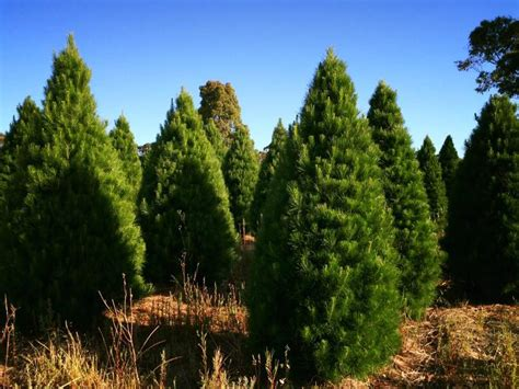 our pick of christmas tree farms close to melbourne