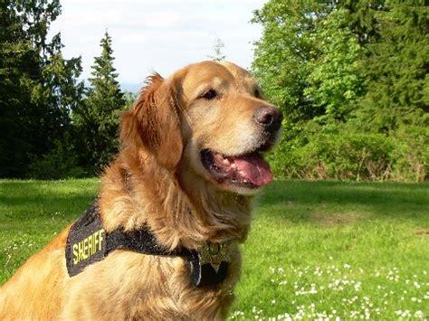 golden retriever rescue wichita kansas awards evergreen golden retriever rescue