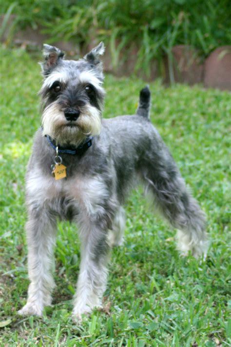 miniature schnauzer rescue puppies i schnauzers breeds picture