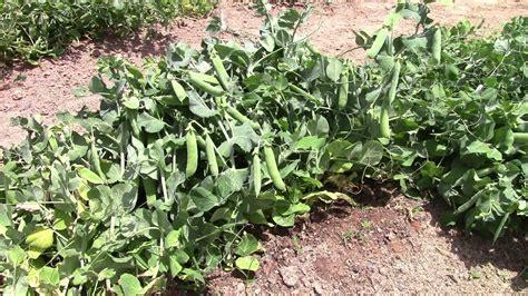 dramanice circle pea garden kataragama garden ftempo