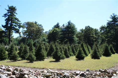 christmas tree farm at evergreen tree and landscape