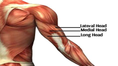triceps diagram 9 best tricep exercises for mass