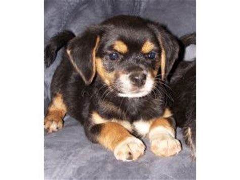 Yorkie Dachshund Mix For Sale Breeds Picture