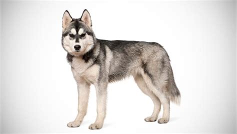 husky breed siberian husky breed selector animal planet