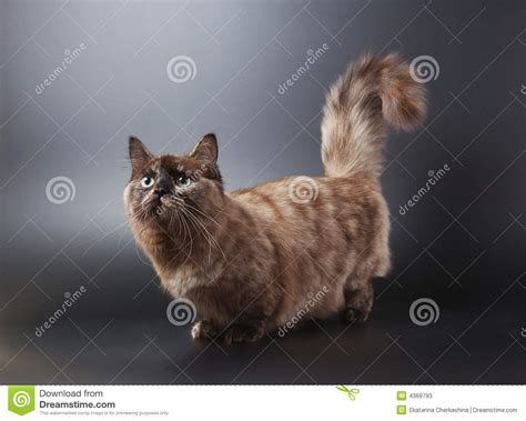 munchkin cat stock image image  charming tail