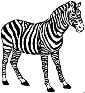 what color is a zebra zebra gross ausmalbild malvorlage tiere