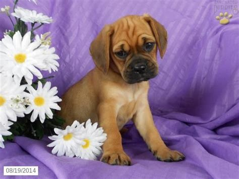 puggle puppies for sale in ohio puggle puppy for sale in ohio puppies puppies for sale puppys and