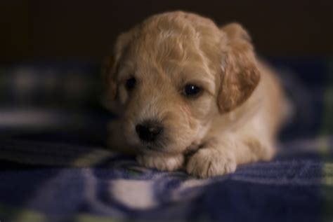 goldendoodle puppies seattle seattle mini goldendoodle puppies 4 weeks pups by
