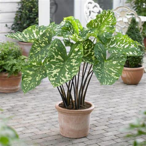 topfpflanzen garten elefantenohr pflanze wird ihren au 223 en und innenbereich