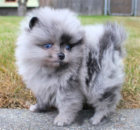 pomeranians for sale in blue pomeranian puppies for sale and from breeders