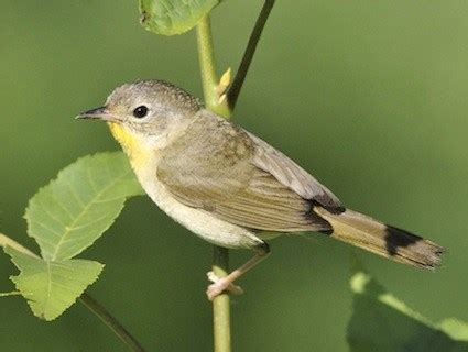 common yellowthroat identification all about birds