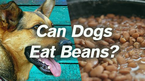 can dogs beans can dogs eat beans pet consider