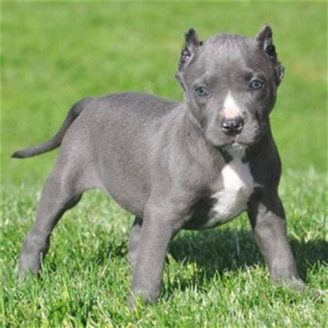 teacup pitbull puppies image gallery teacup pitbull