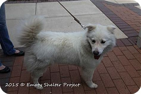 pomeranian lab mix manassas va pomeranian labrador retriever mix meet snow a for adoption