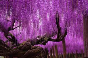 how to take cuttings of wisteria the garden of eaden