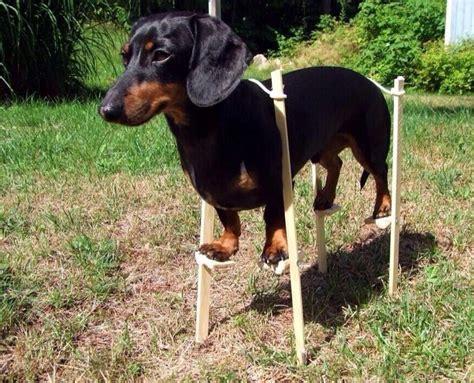 cool doggo funny dachshund funny dogs
