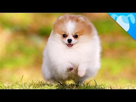 pomeranian facts pomeranian is a breed of of the spitz type named for the pomerania region in