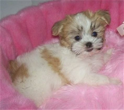 malti shih tzu mix mal shi breed information and pictures