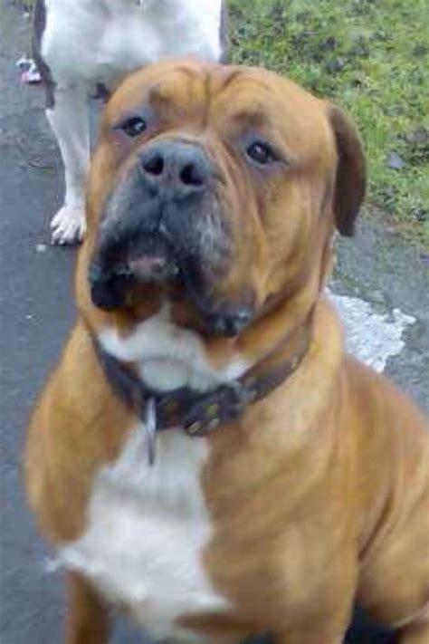 boerboel mastiff puppies boerboel mastiff bradford west pets4homes