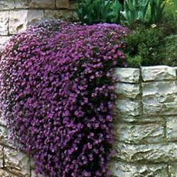 low growing ground cover plants full sun image search results