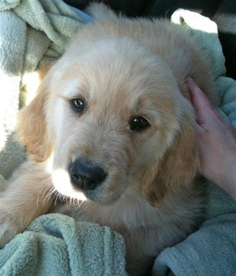 puppy honey honey the golden retriever puppies daily puppy