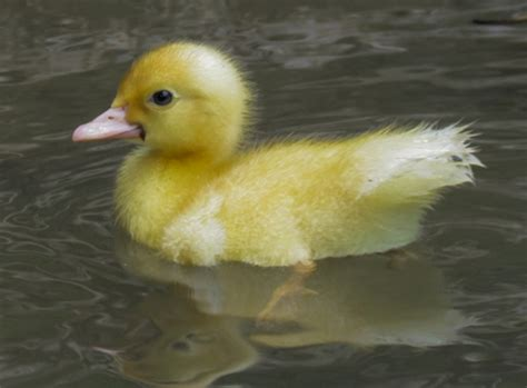 10 interesting duck facts my interesting facts
