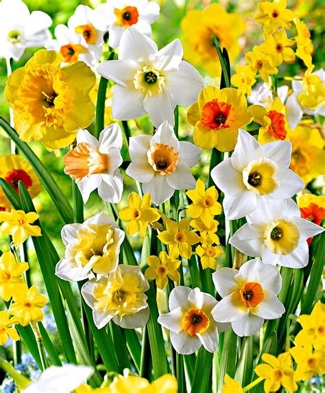narcisi fiori acquista narcisi in mix bakker