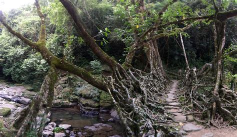 living bridges incredible 500 year old quot living quot root bridges in india