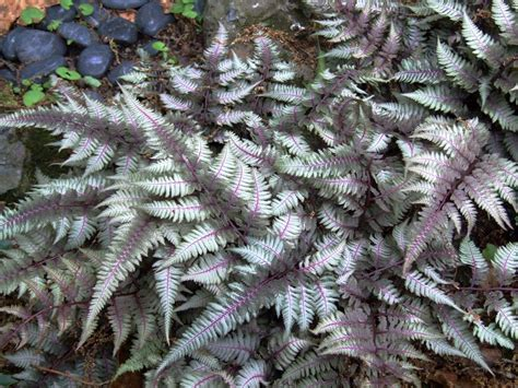 japanese painted fern flickr photo sharing