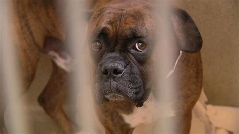 longmont humane society dogs longmont humane society overcrowded facing financial woes 171 cbs denver